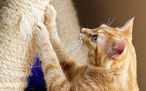 Image of cat scratching on a scratching post. Alternatives to Declawing Cats