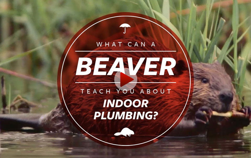 Beaver - Home Habitat Video Series